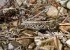 Myrmeleotettix maculatus  (Mottled Grasshopper) Copyright: Graham Ekins
