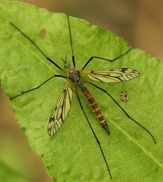 Tipula varipennis 2016 Copyright: Yvonne Couch