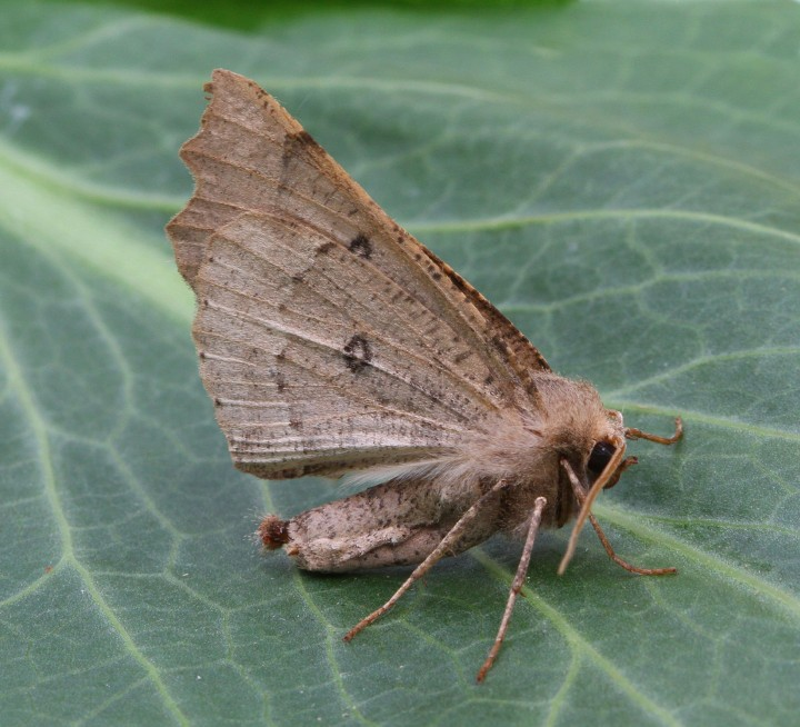 Scalloped Hazel  Odontopera bidentata Copyright: Graham Ekins