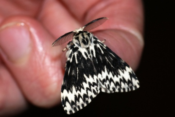 Black Arches aberration Copyright: Ben Sale