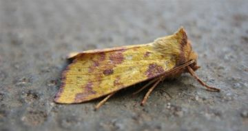Pink Barred Sallow. Copyright: Stephen Rolls