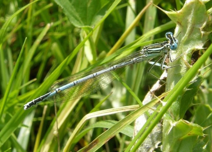 White-legged damselfly male Copyright: Sue Grayston