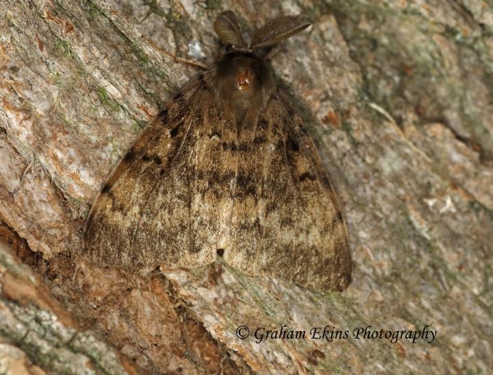 Lymantria dispar Gypsy Moth Copyright: Graham Ekins