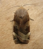 Broad Bordered Yellow Underwing 2 Copyright: Stephen Rolls