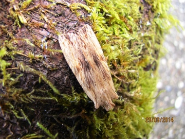 Pale Pinion Copyright: Graham Smith