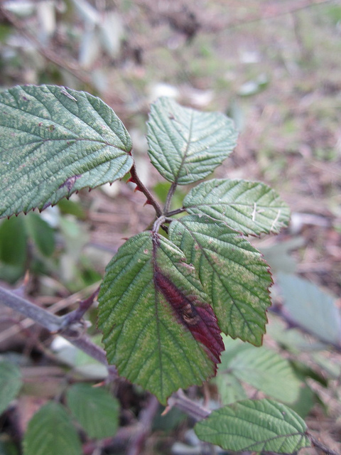 Ectoedemia erythrogenella Copyright: Stephen Rolls