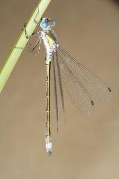 Lestes dryas Copyright: Peter Harvey