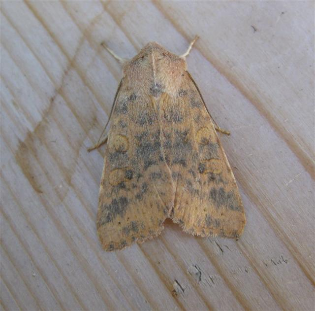 Dusky Lemon Sallow. Copyright: Stephen Rolls