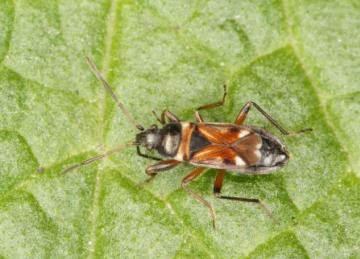 Raglius alboacuminatus Copyright: Peter Harvey