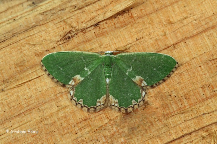 Comibaena bajularia  Blotched Emerald 1 Copyright: Graham Ekins