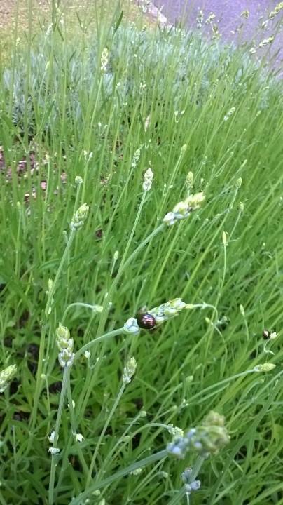 E4 Rosemary Beetle Copyright: Andrew Sikora