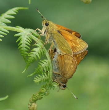 Large Skipper pair - underside Copyright: Robert Smith