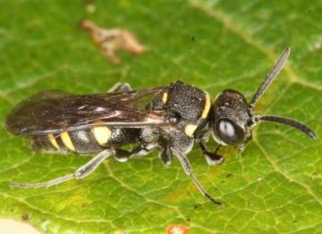 Nysson trimaculatus Copyright: Peter Harvey