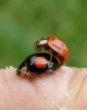 Harlequin ladybirds mating Copyright: Sue Grayston