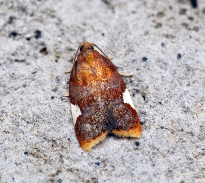 Acleris holmiana Copyright: Ben Sale