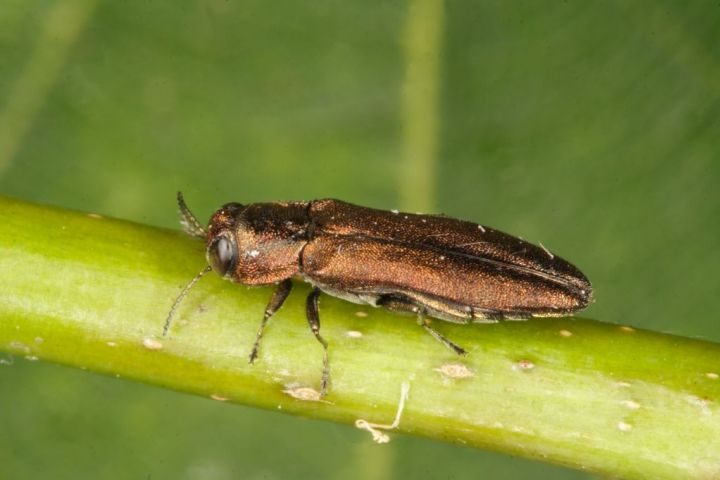 Agrilus laticornis from side Copyright: Peter Harvey