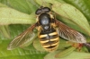 Sericomyia silentis Copyright: Peter Harvey