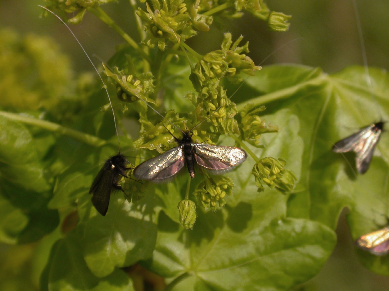 A micro-moth Adela reaumurella Copyright: Malcolm Riddler