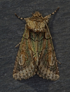 Green Brindled Crescent  Allophyes oxyacanthae Copyright: Graham Ekins