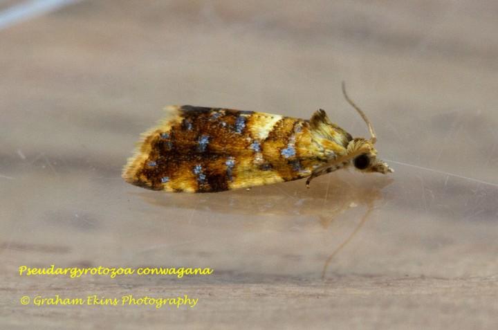 Pseudargyrotoza conwagana Copyright: Graham Ekins