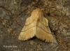 Lackey Malacosoma neustria Copyright: Graham Ekins