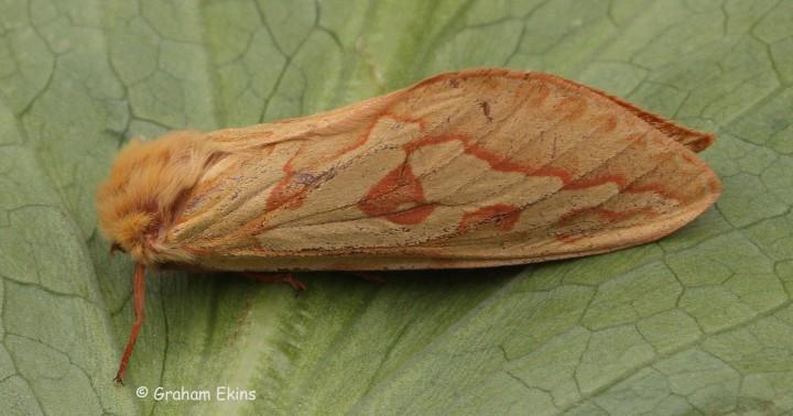 Ghost Moth Hepialus humuli 1 Copyright: Graham Ekins