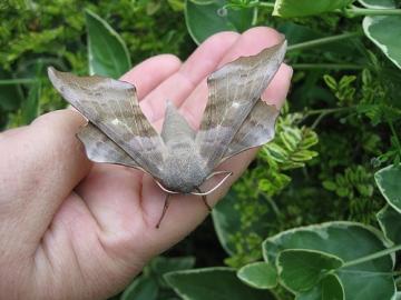 Poplar Hawk-Moth 2. Copyright: Stephen Rolls