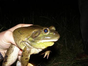 Male bullfrog Copyright: J Cranfield 2007