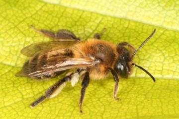 Andrena scotica Copyright: Peter Harvey