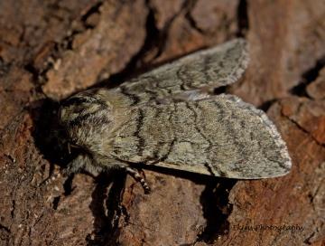 Yellow-horned Achlya flavicornis 4 Copyright: Graham Ekins