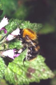 Bombus pascuorum Copyright: Peter Harvey