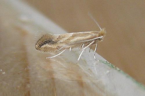 Phyllonorycter salictella viminiella. Copyright: Stephen Rolls