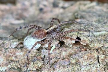 Pardosa amentata - female3 (8 May 2011) Copyright: Leslie Butler