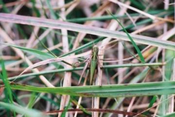 Common Green Grasshopper Copyright: Tim Gardiner