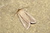 Smoky Wainscot Copyright: Ben Sale
