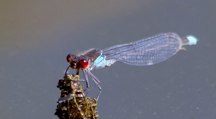 Red-eyed Damselfly Dagenham Chase Copyright: Alan Shearman