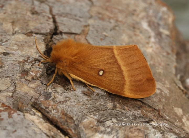 Lasiocampa quercus  Oak Eggar Copyright: Graham Ekins