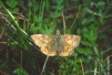 Erynnis tages Copyright: Peter Harvey