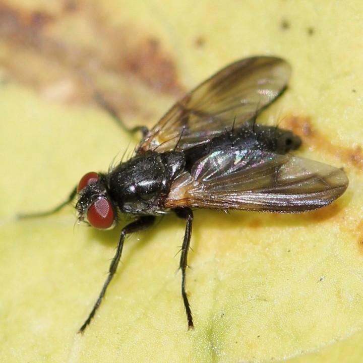 Paykullia maculata Copyright: Jeremy Richardson