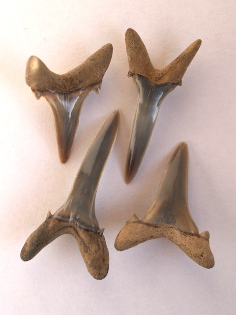 Shark teeth from the London Clay at The Naze Copyright: Gerald Lucy