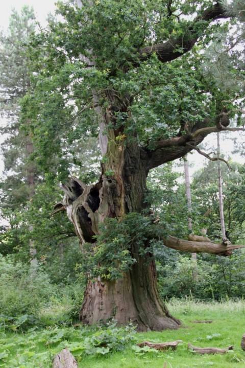 Veteran Oak at Marks Hall Copyright: Peter Harvey