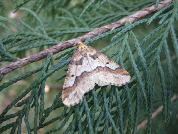 Mottled Umber. Copyright: Stephen Rolls