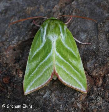 Pseudoips prasinana   Green Silver-lines 3 Copyright: Graham Ekins