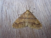 Scarce Umber Copyright: Stephen Rolls