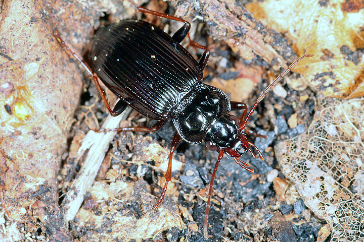Nebria brevicollis (8 May 2011) Copyright: Leslie Butler