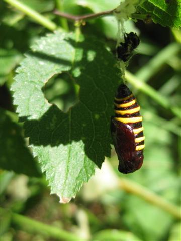 Magpie Moth 2 Copyright: Stephen Rolls