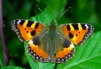 Aglais urticae Copyright: Peter Harvey
