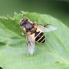 Eristalis horticola Copyright: Geoff Vowles