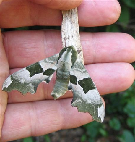 Lime Hawkmoth 2 Copyright: Stephen Rolls
