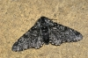 Peppered Moth f.insularia Copyright: Ben Sale
